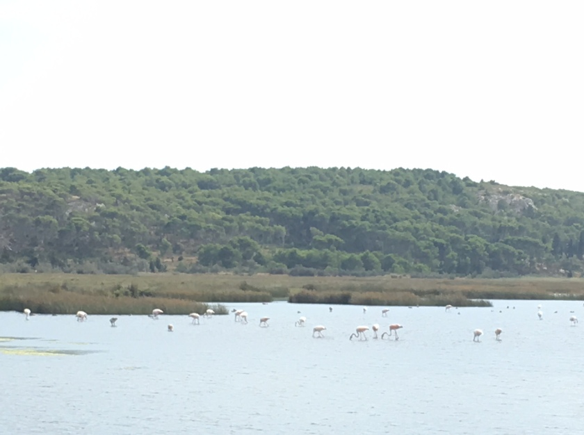 flamingos in the Etang